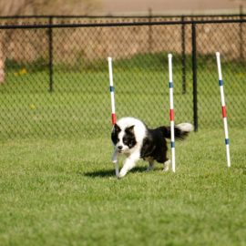 AKC Agility Trials May 1 & 2 Premium available